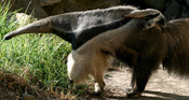 giant anteater and baby1.jpg