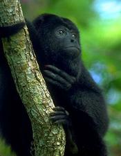 howler_monkey3.jpg