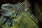 iguana41.jpg