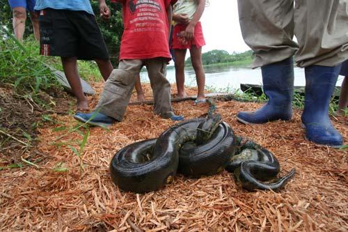 largest anaconda in world. iggest anaconda let me st