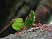 leaf_cutter3.jpg