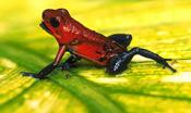 poison_frog5.jpg