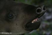 tapir1.jpg