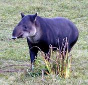 tapir31.jpg
