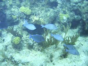 Doctorfish - photo#28