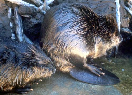 Beaver_2.jpg