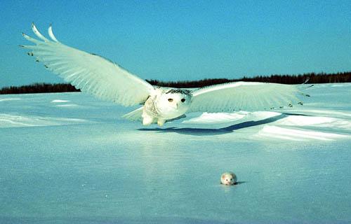 Snowy Owl - Project Polar Bear