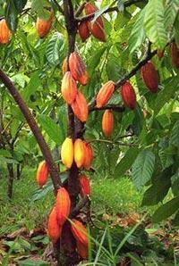 Theobroma cacao plant for sale