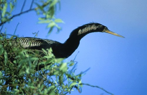 anhinga sitting in a tree