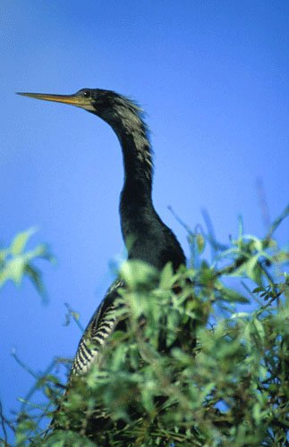 closeup of anhinga head and neck