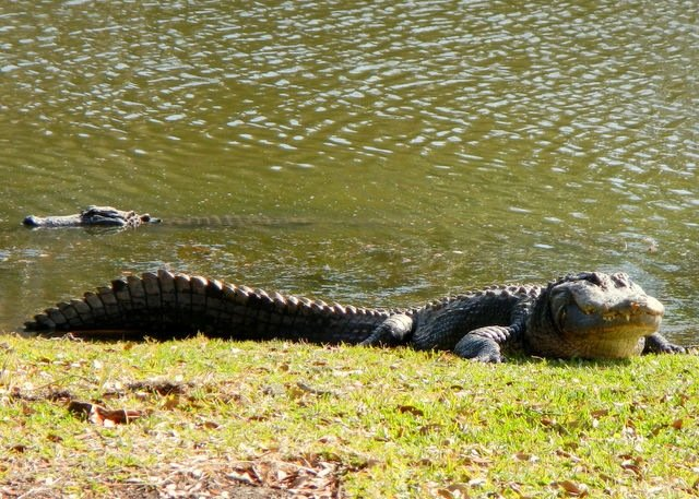 alligator on land, sunning itself