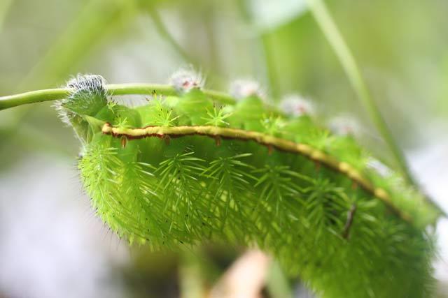 green_catapillar_amazon