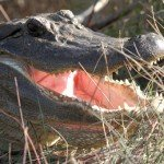 closeup of alligator with open mouth