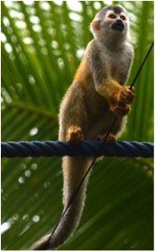 squirrel_monkey_kraft