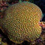 Giant Brain Coral