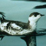 Marbled Murrelet
