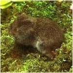 Northern Bog Lemming