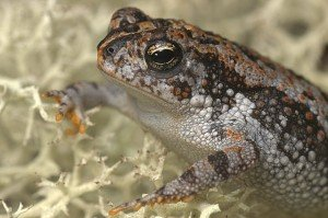 Oak toad (Bufo quercicus)