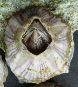 Striped Barnacle