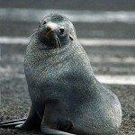 Antarctic fur seal on land