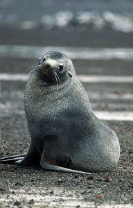 Antarctic fur seal on land