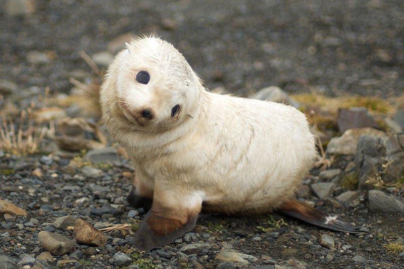 young Antarctic fur seal