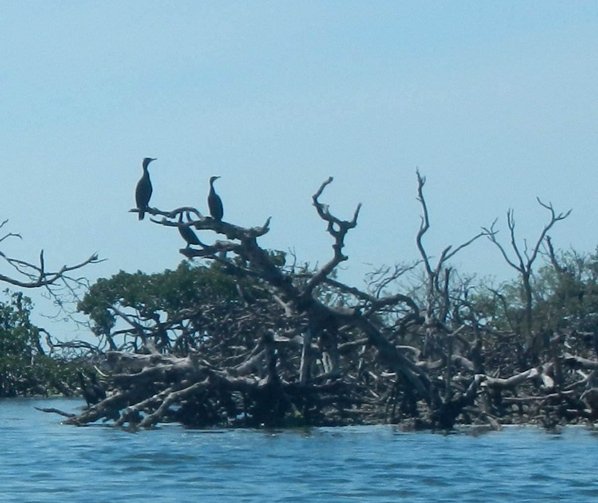 cormorants in mangrove