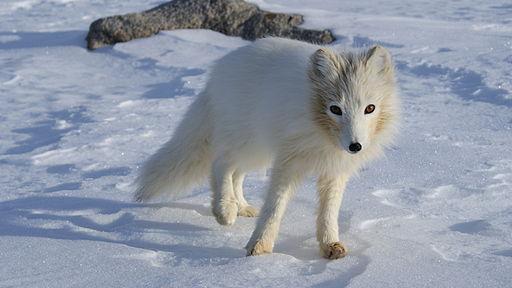 Artick Fox