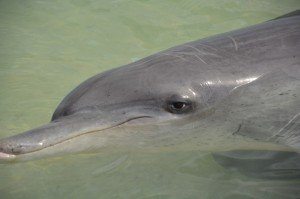 Bottlenose dolphin close-up