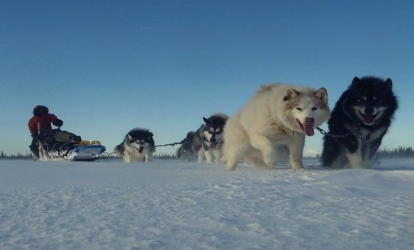 This dog team is working together to pull the dog sled.