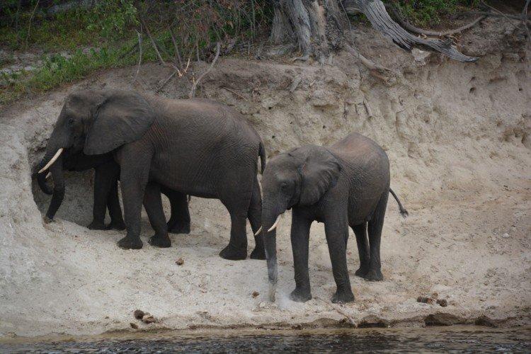 Elephants eating soil