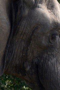 Close-up of fluid behind elephant's eye