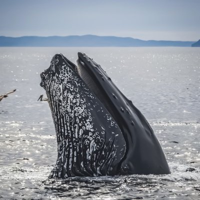 A humpback whale surfaces. Humpback whales are one of the animals we highlight in our oceans virtual school assemblies.