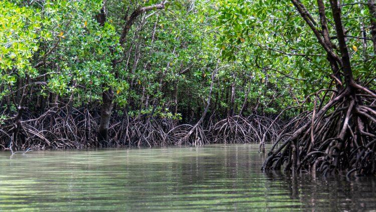mangroves-5205415_1920